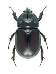 Beetle Oryctes nasicornis