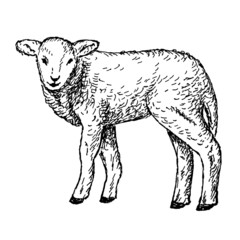 lamb hands drawing