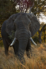 Elephant bull vertically in Kruger National Park