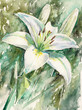 White lily.Watercolors