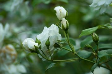 Im Rosengarten - weiße Idylle