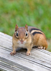 Eastern Chipmunk Sitting on a Porch