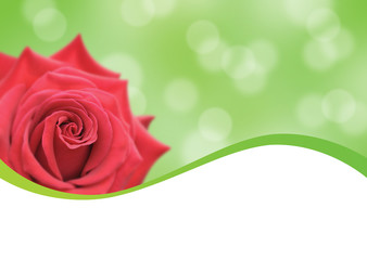 red rose and green background