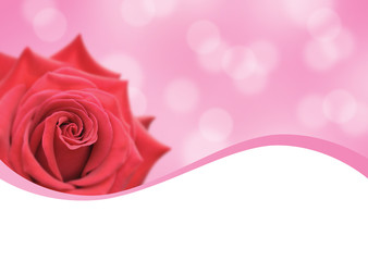 red rose and pink background