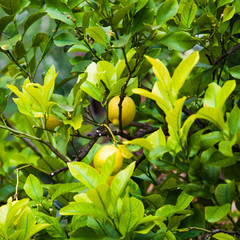Lemon on the tree.  Organic lemons on tree