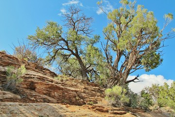 Juniper-Baum in Arizona