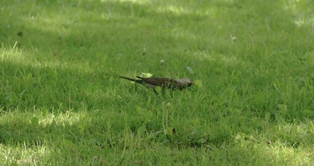A Song thrush on the grass 4K RAW FS700 Odyssey 7Q