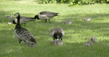 Set of goose and goslings on the grass 4K RAW FS700 Odyssey 7Q