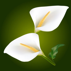 Two white calla flowers