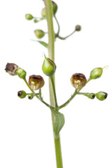 Flowering figwort