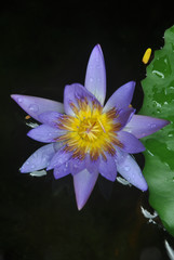 A Purple Waterlily