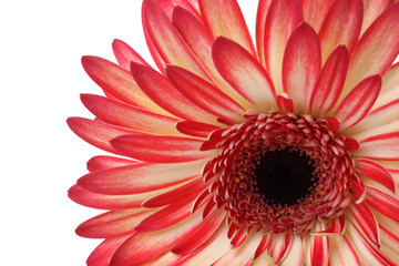 Closeup of gerbera