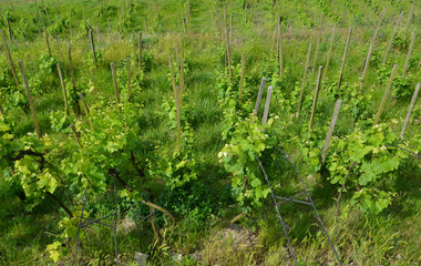 Young vineyard in the Czech Republic