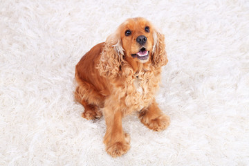 English cocker spaniel on carpet in room