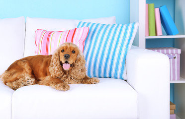 English cocker spaniel on sofa in room