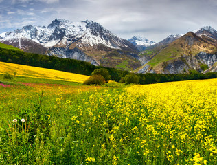 Spring in the foothills. Blooming field of yellow flowers