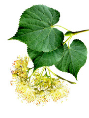 linden flowers on a white background