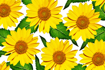 yellow flowers of sunflowers isolated on white background