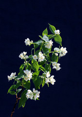 Branch of blossoming white jasmine flowers
