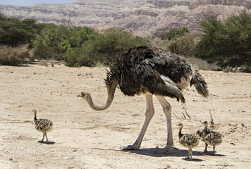 Female of African ostrich and young chicks