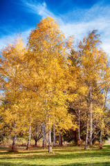 Beautiful autumn landscape - white birch trunks and branches