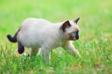 Siamese kitten walking on the grass