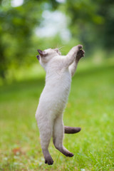 Playful siamese kitten jumping on the grass