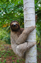 A three-toed sloth climbing on a tree