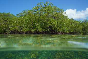 Red mangrove viewed from sea surface