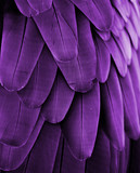 Fototapety Violet Feathers