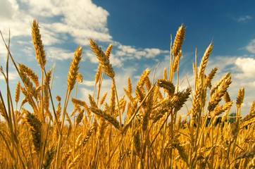 Wheat field on sunny summer day