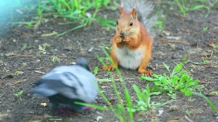 Squirrel and pigeon