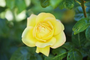Beautiful yellow rose on green bush