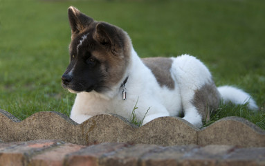 akita puppy outdoors
