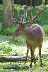 Red Deer Portrait 1