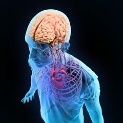 Human anatomy illustration - nervous and circulatory systems