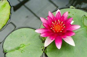 Beauty of Water Lily in the pond
