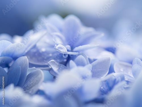 梅雨の紫陽花の滴