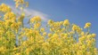 Background of blooming rapeseed field