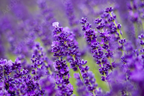 Foto op Plexiglas Lavendel lavender flowers