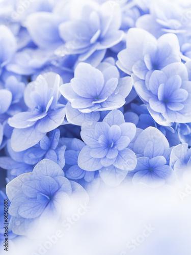 In de dag Hydrangea 紫陽花の花びらの背景