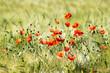 wild poppy flowers - 66564095