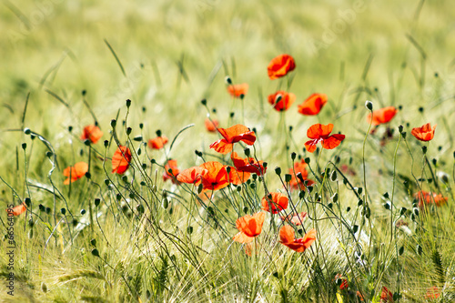 Naklejka wild poppy flowers