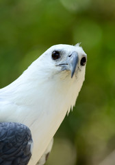 white bellie sea eagle