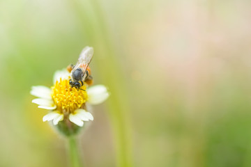 bee on mexican daisy macro grasses background blur