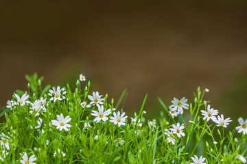 flowers chickweed