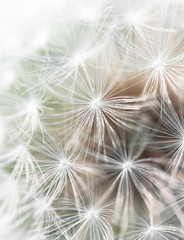 Close up of dandelion fluff