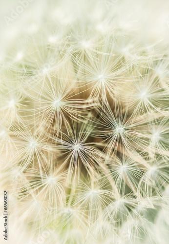 Close up of dandelion fluff © altocumulus