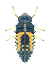 Beetle Harmonia axyridis (larva)