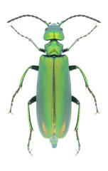 Beetle Lytta vesicatoria